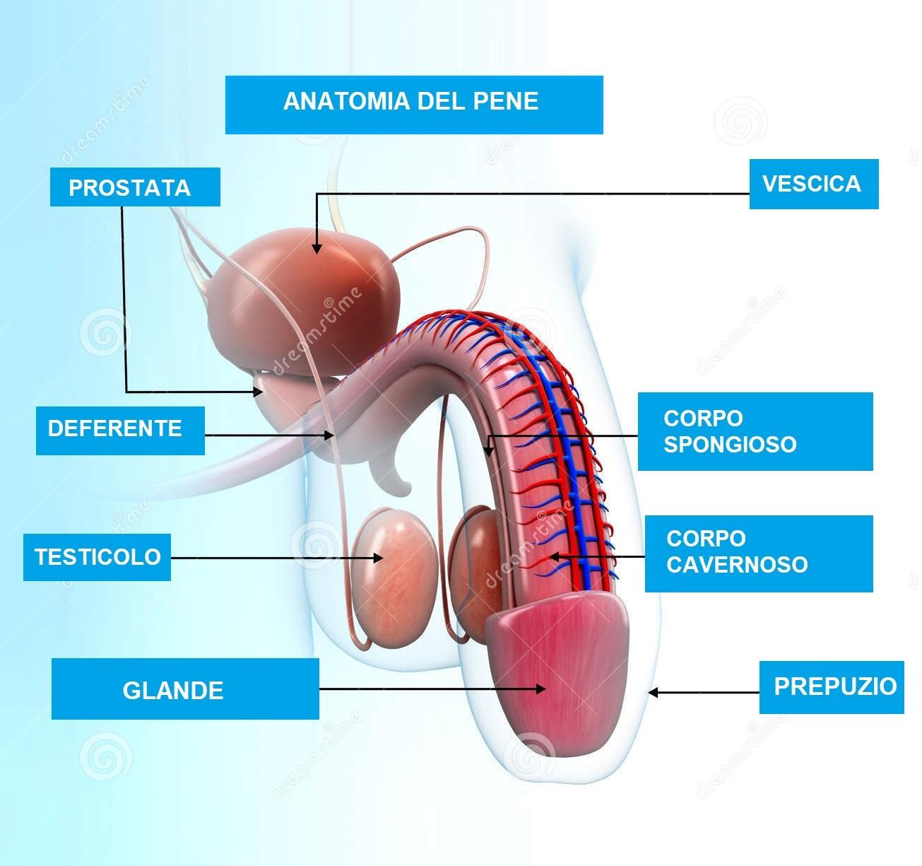il sistema riproduttivo maschile prostata
